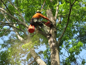 Picture of an employee in a large oak tree with chainsaw cutting off large limbs in Hendersonville, TN