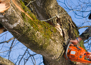 Picture of an employee in a large tree cutting down a branch with a chainsaw in Hendersonville, TN