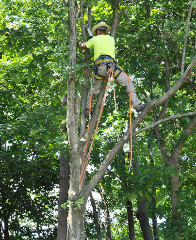 Picture of employee in a tree with safety gear trimming a large tree in Hendersonville, TN